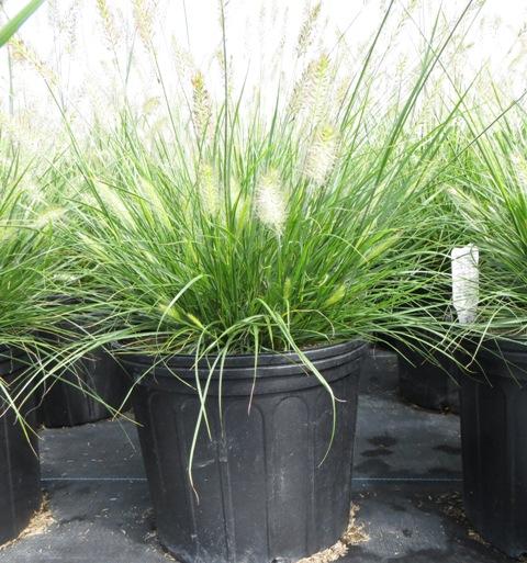 Hameln Ornamental Grass Pennisetum hameln ornamental grass riggins nursery llc hameln pennisetum2 8 14 workwithnaturefo