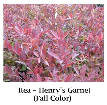 Henrys_Garnet_new