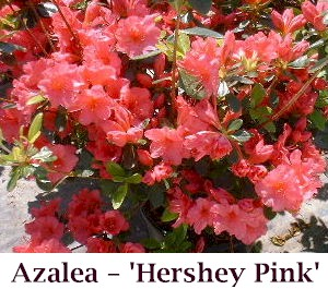 Hershey_Pink_crop2