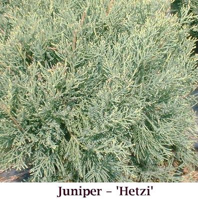 Hetzi_crop