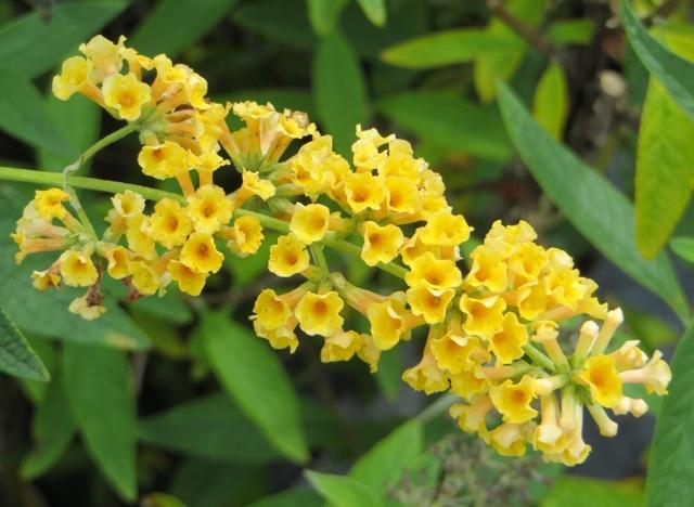 honeycomb-butterfly-bush-9-20-16