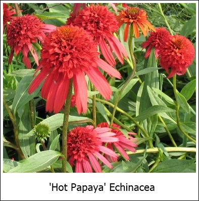 echinacea hot papaya pp21022 riggins nursery llc. Black Bedroom Furniture Sets. Home Design Ideas