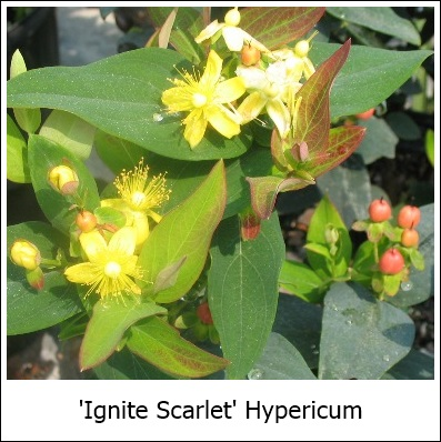 Ignite_Scarlet_new