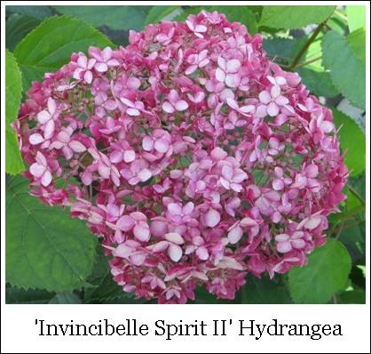 Invincibelle Spirit II 9-24