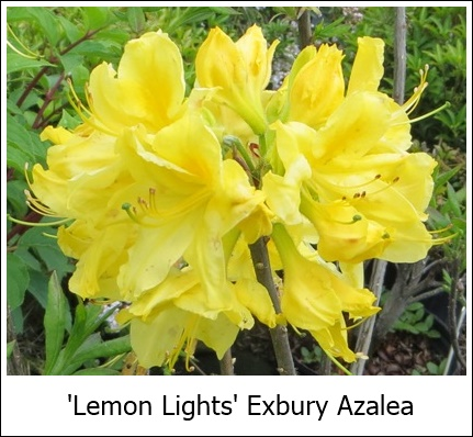 Lemon Lights5-24-14