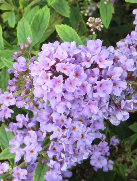 lilac-chip-butterfly-bush
