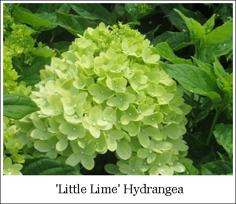 Little Lime 8-18