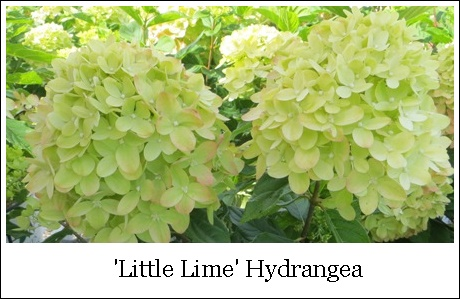 Little Lime 9-24