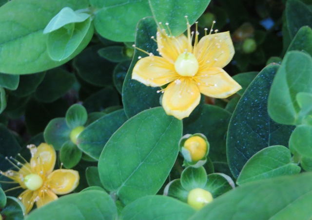 Magical Sunshine Hypericum 5-27-16