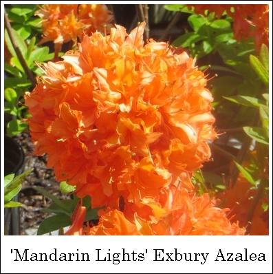 MandarinLights5-14