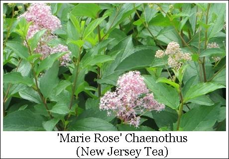 Marie Rose 8-7-4