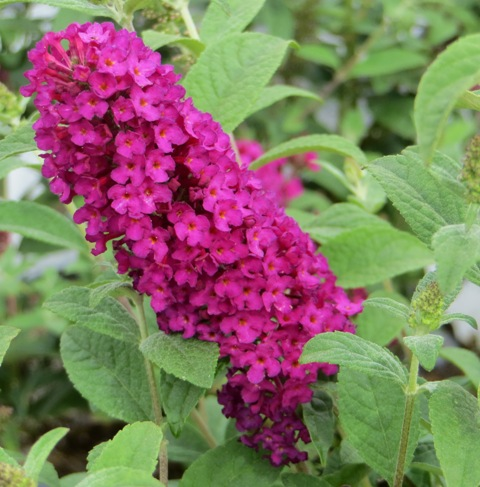 Buddleia Butterfly Bush Miss Molly Pp23425 Riggins