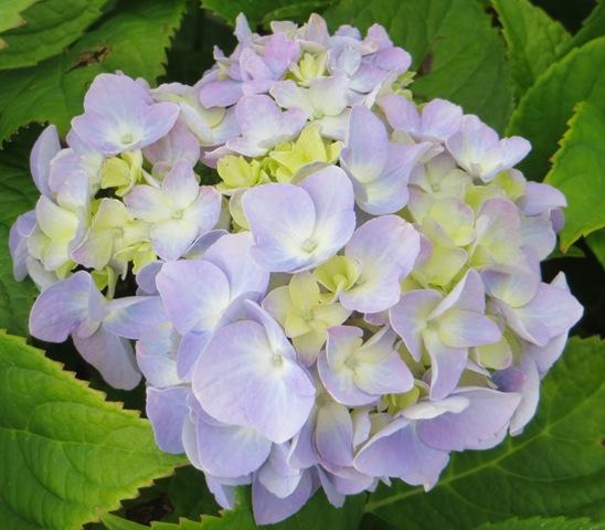 Nikko Blue 7 gallon Hydrangea6 6-8