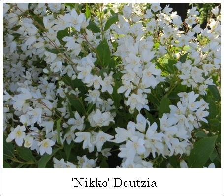 NikkoDeutzia5-14