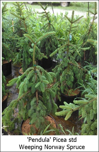 Picea Abies Pendula Weeping Norway Spruce Riggins