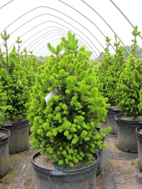 Picea Abies Fastigiata Compacta Norway Spruce Riggins