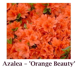 Orange_Beauty_crop