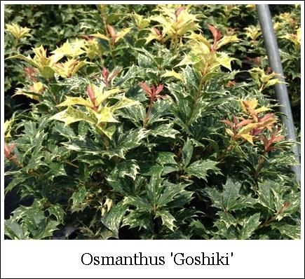 Osmanthus Goshiki 2