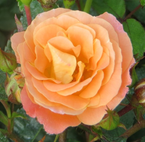 Peach Drift Rose 6-1-16