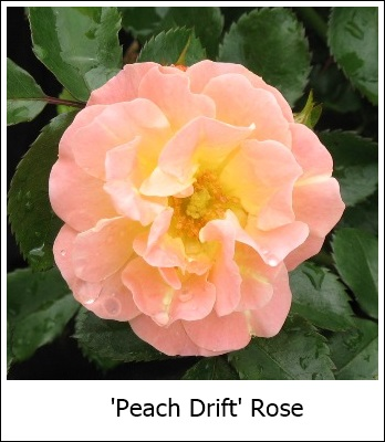 Peach Drift