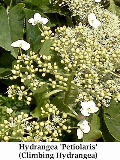 Petiolaris_flower