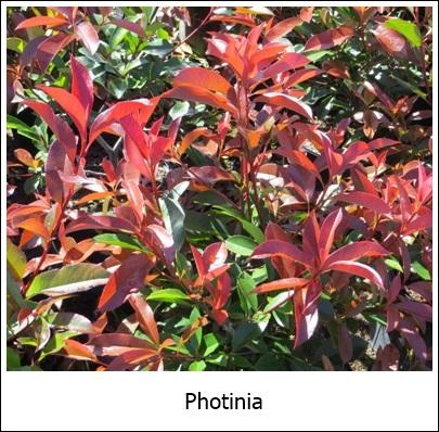 Photinia 9-28-2