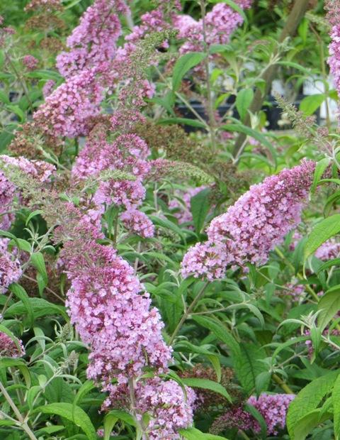 pink-delight-butterfly-bush-7-7