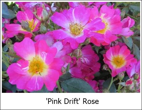 Pink Drift 7-27