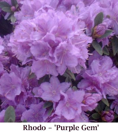 Purple_Gem_new