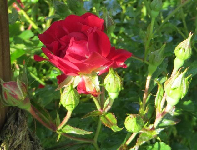 Red Drift Rose3 5-19
