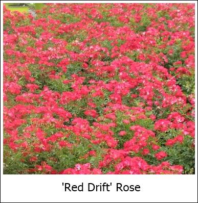 RedDrift