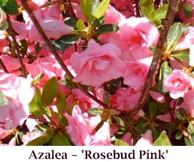 Rosebud_Pink2_crop