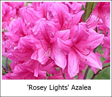 RoseyLights