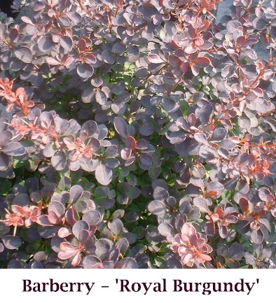 Royal_Burgundy