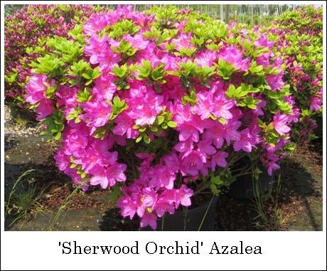 SherwoodOrchid5-7