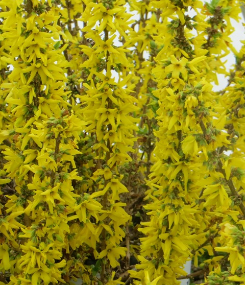 Show Off Sugar Baby Forsythia4 3-30