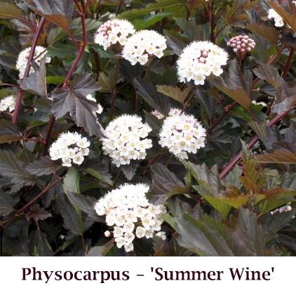 Summer_Wine_Flower