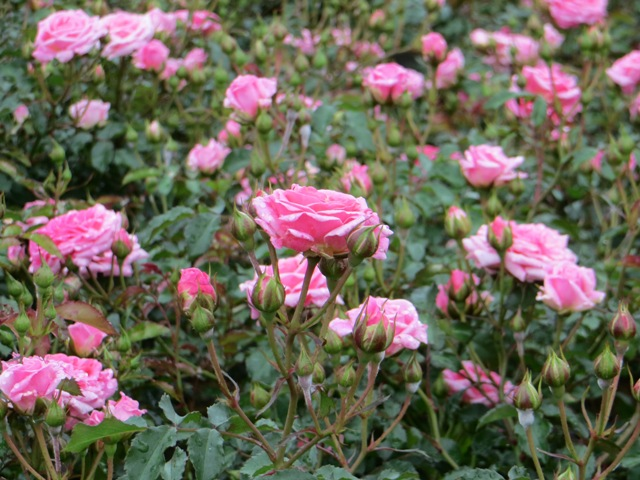 Sweet Drift Rose2 5-31