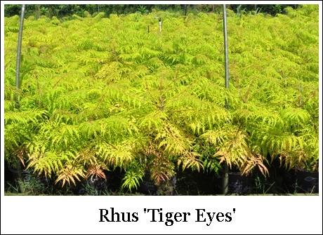 Tiger Eyes 7-10