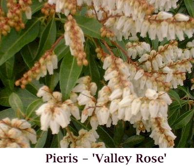 Valley_Rose1_crop