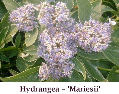 Var_Hydrangea_flower2