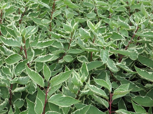 variegated-dogwood
