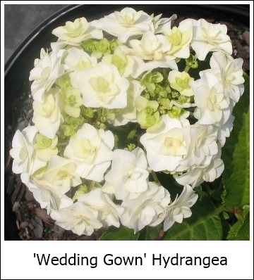Wedding Gown Hydrangea Bloom Time Late Spring To Frost