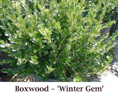 Winter_Gem2_crop