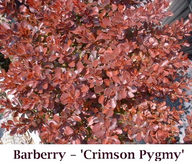 crimson_pygmy1_crop