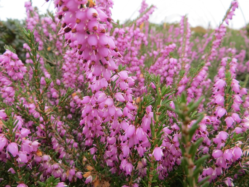 Mediterranean Pink 3-12