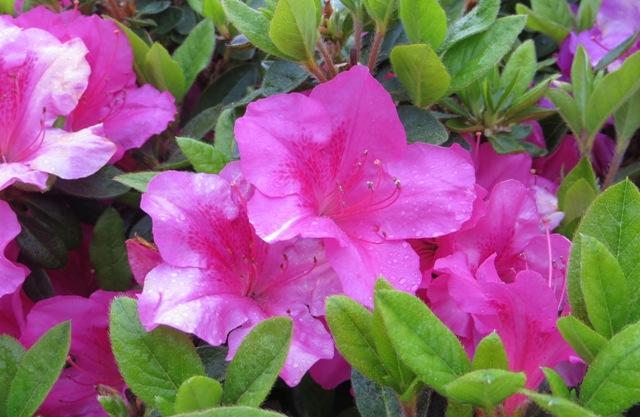 Autumn Sangria Encore Azalea2 5-13-16