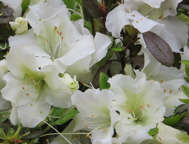 Bloom-A-Thon White Azalea 5-13-16