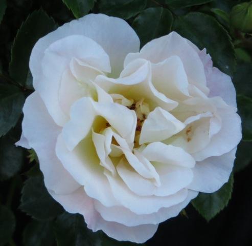 Popcorn Drift Rose 5-27-16