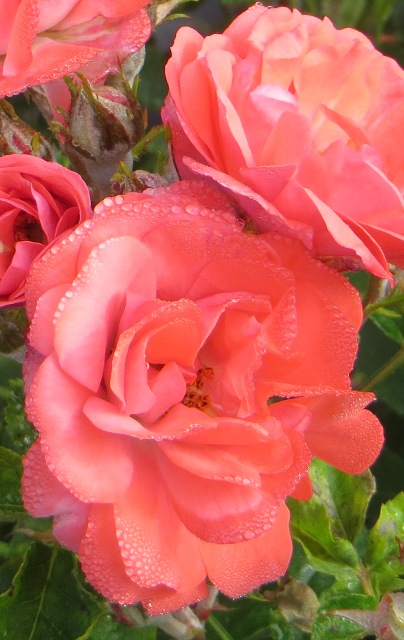 Coral Drift Rose2 6-1-16